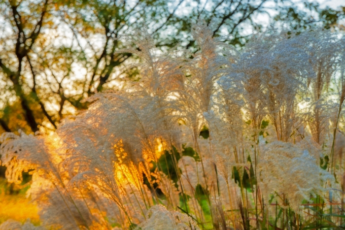 Autumn's Prairie Grass in Sunset Light